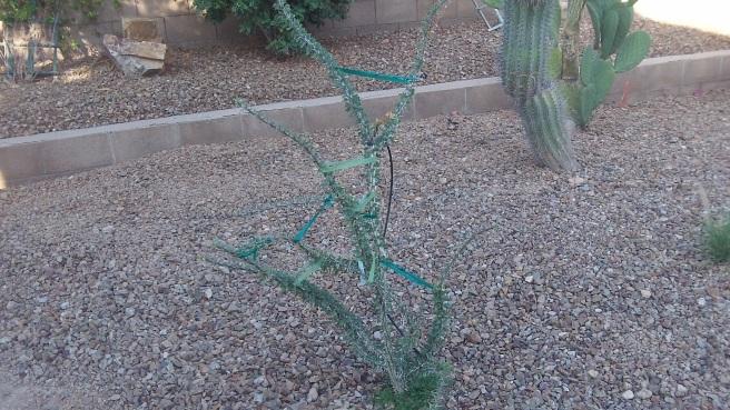cactus with tiebacks