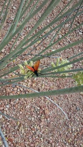 Arizona Tarantula Hawk
