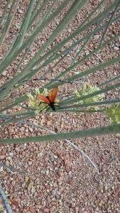 Arizona Tarantula Hawk