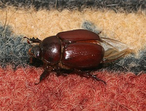 june-beetle-on-rug