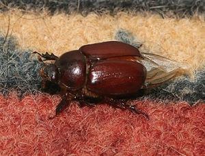 june-beetle-on-rug