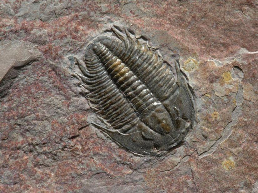 trilobite-fossil_1262_990x742.jpg