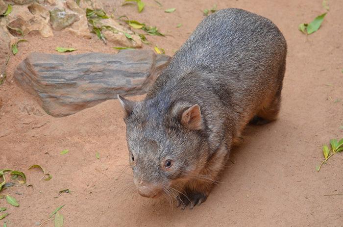 n34qp-wombat-hero
